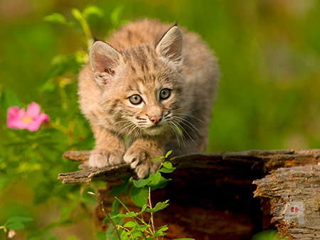Canadian Bobcat kitten